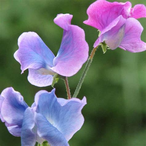 photos of sweet pea flowers
