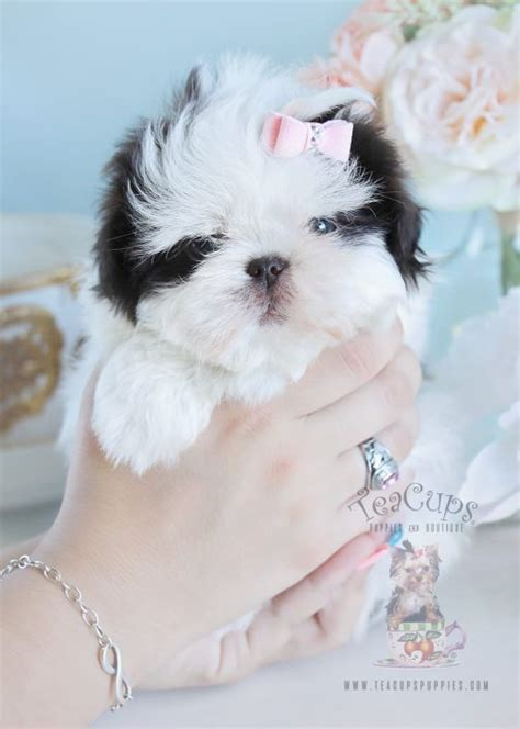 miniature imperial shih tzu micro mini shih tzu www pixshark images galleries with a bite