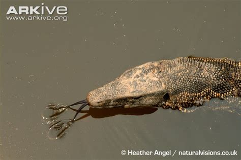 asian water monitor lizard photo varanus salvator