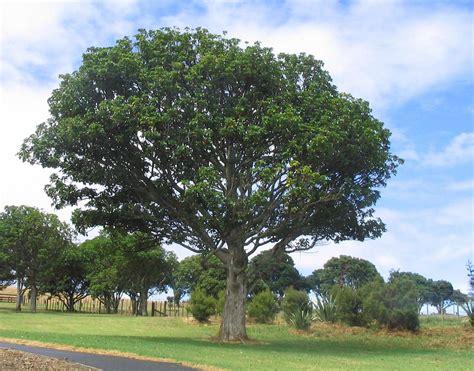 images tree file puriri tree jpg