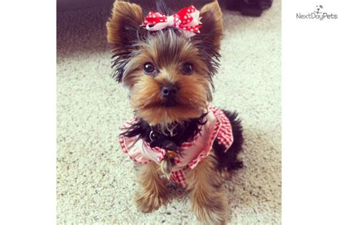 trained yorkie for sale dogs and puppies for sale and adoption oodle marketplace