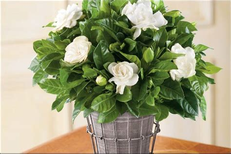 growing gardenias indoors valuable tips