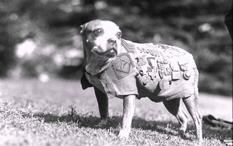 Sergeant Stubby Owner Staffordshire Bull Terrier 1 Guide Every Question Answered