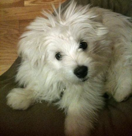 maltipoo pomeranian bruce the maltese mix dogs daily puppy