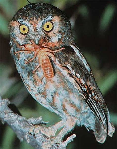 elf owl tiny family oriented north american bird birds