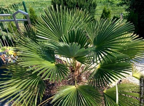 Winterharte Palmen Für Den Garten 3 by Palmen Winterhart Das Exoten Zentrum