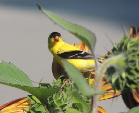 goldfinch bird identification diet habitat images the
