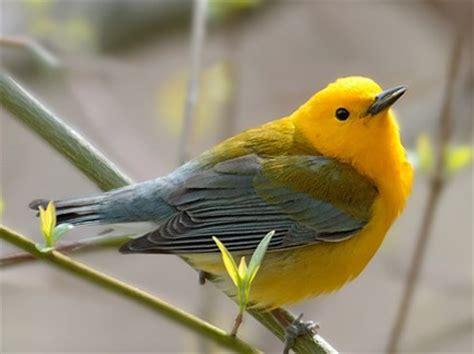 York County Prothonotary Search Prothonotary Warbler Identification All About Birds Cornell Lab Of Ornithology