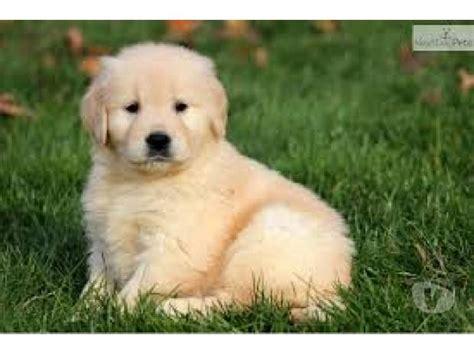 golden retriever puppies for sale in delhi healthy golden puppies clasf