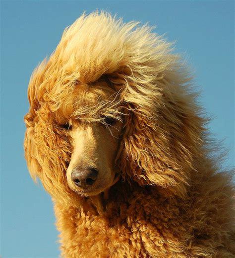 poodle with plain hair cut 1000 images about i love poodles on pinterest poodles