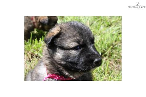 shiloh shepherd puppies for sale profile for shiloh a terrier breeds picture