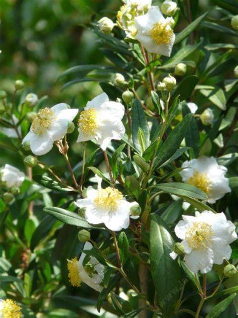 shrub flowers carpenteria californica bush anemone
