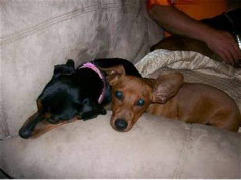 puppies for sale in kingsport tn miniature dachshunds for sale in kingsport tennessee breeds picture