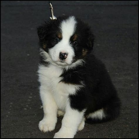 border collie husky mix puppy 25 best ideas about husky collie mix on border collie husky mix collie