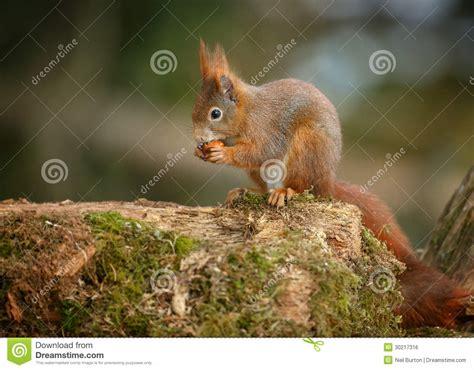 scoiattolo alimentazione alimentazione dello scoiattolo rosso fotografia stock