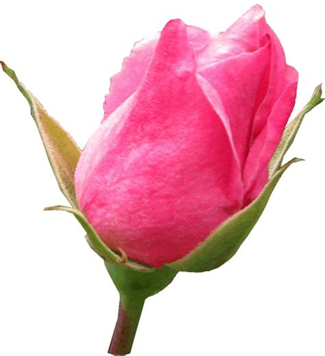 pink rosebud pink rosebud clipart lge 13 cm flickr photo sharing