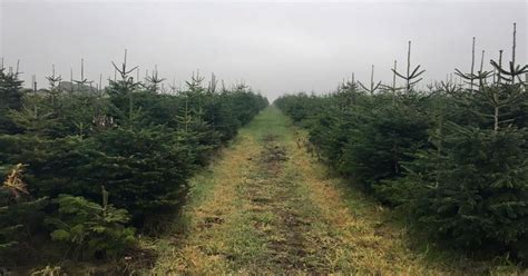real christmas trees liverpool merseyside s only home grown tree farm liverpool echo
