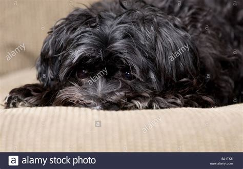will my yorkie stay black and black maltese yorkie mix lying on a stock photo royalty free image