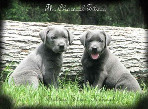 silver lab puppies silver labrador retrievers silver labs silver labradors and labrador breeders