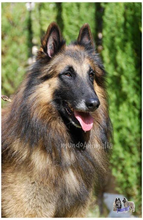 pastor belga de pelo corto pastor belga tervueren perros mundoanimalia