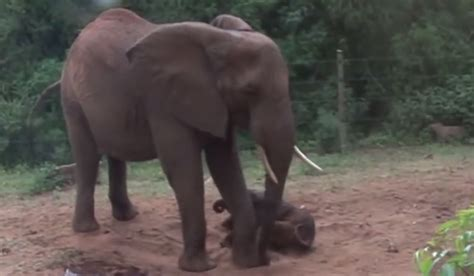 Recorded Birth An Orphan Elephant Gave Birth The Keepers Recorded The