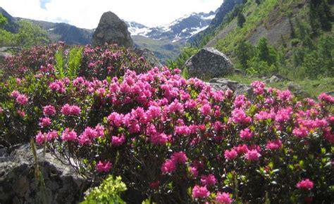fiore rododendro rododendro pianta coltivazione e fioritura idee green