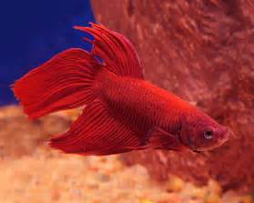about several groups of compatible fish gallery of betta fish pictures