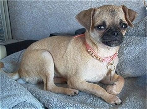 mixed breed pug and chihuahua chug breed pictures 1