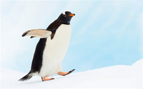 Top Pinhuin penguin desktop wallpaper 398112
