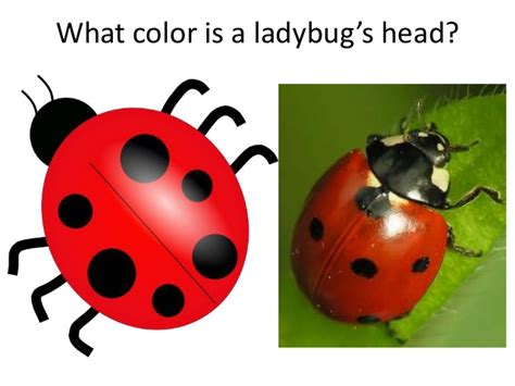 what color is a ladybug companion guide to the grouchy ladybug