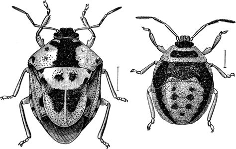 Ie8 Outline Bug by Stink Bug Clipart Etc