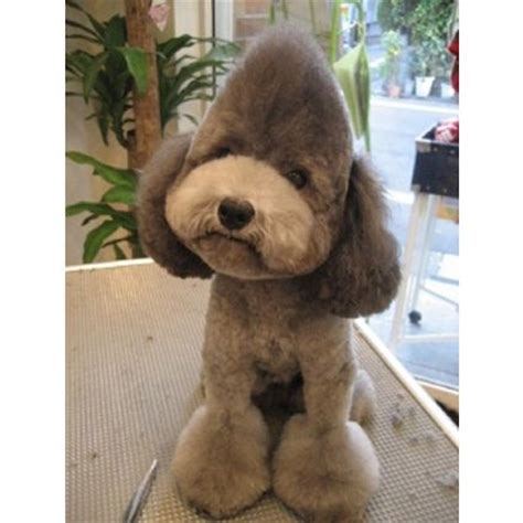 toy poodle haircuts pictures 1000 images about dog grooming looks styles on