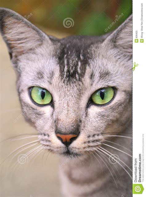 imagenes de ojos verdes de gatos el mirar fijamente de ojos verdes del gato