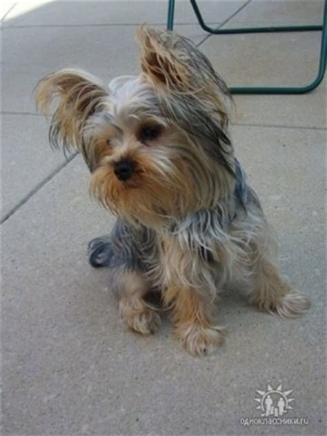 yorkie puppies information terrier breed information and pictures yorkie