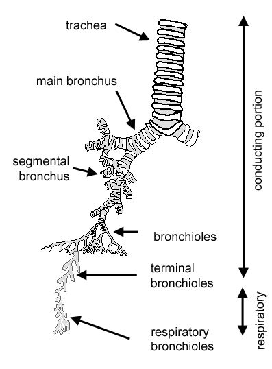 diagram of bronchioles histology guide respiratory