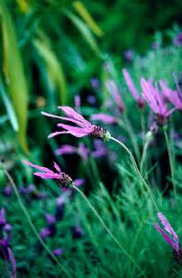 Benihbijibibit Bunga Lavatera Pastel Mix jual bibit bunga berkualitas jual bibit bunga murah