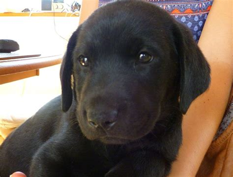 golden retriever puppies for sale in gloucestershire black and golden labrador puppies for sale pets for sale uk pet breeds picture