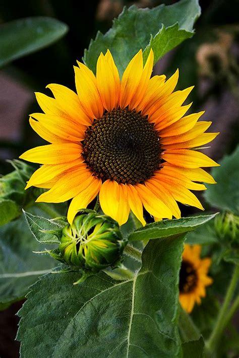 kansas sunflower 50 state flowers 1 pinterest sunflower kansas state flower sunflowers pinterest