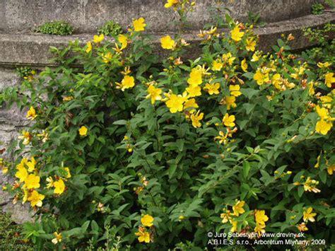 lubovnik kaliskaty hypericum calycinum zahradnictvo abies