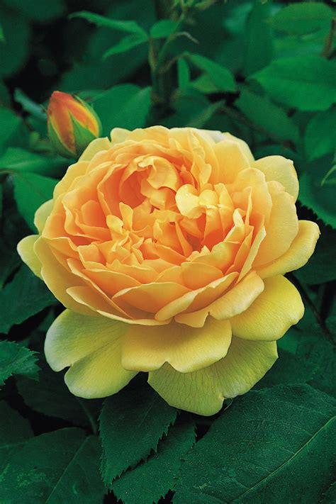 vintage roses beautiful varieties 1910496901 old english rose varieties to grow hgtv