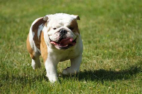 do english bulldogs need c sections best dog food for bulldogs 2018 top 5 picks ultimate