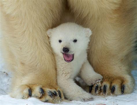 libro oso polar oso polar aislan por primera vez adn de oso polar de una huella en la nieve