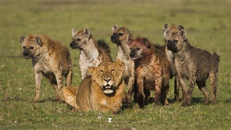 film lion vs hyena are the lead pastors of mars hill cuses lions or hyenas