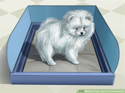 taking care of pomeranian how to take care of a pomeranian with pictures wikihow
