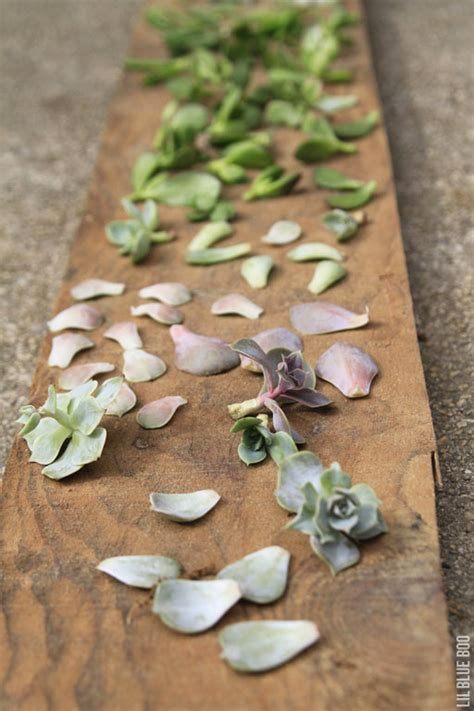 How To Grow Succulents From Leaf Cuttings Lil Blue Boo - how to grow succulents from leaf cuttings