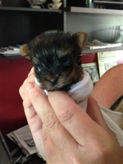 smallest yorkie on record tiny yorkie near alliston could be world s smallest ctv barrie news