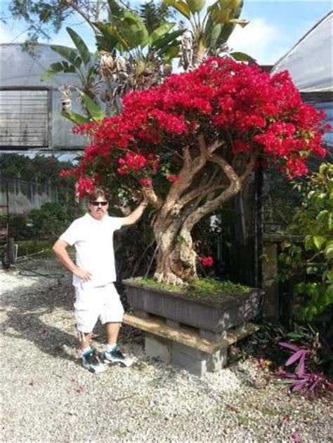 United Airlines Booking by Large Bougainvillea Bonsai Tree Picture Of Miami