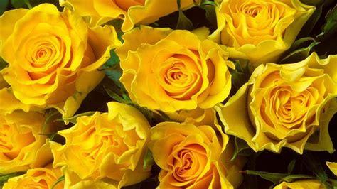 imagenes rosas hd rosas amarillas hd im 225 genes y fotos