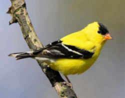 iowa state bird eastern goldfinch aka wild canary