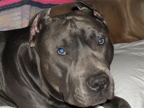 17 best images about i my pitbulls on